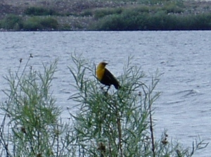 My first sighting of a yellow-headed blackbird