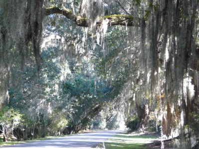 Spanish moss. Please click to see enlargement.