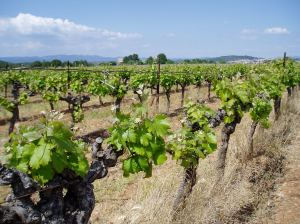 The source of our tipple - thousands and thousands of acres of vines.