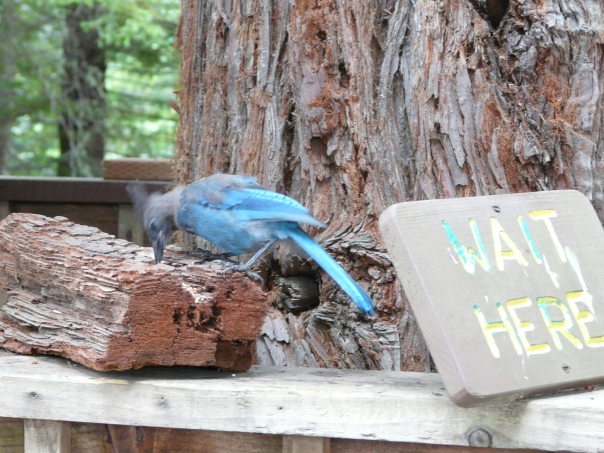 Steller's Jay waiting for Sky Trail at Trees of Mystery, Northern California