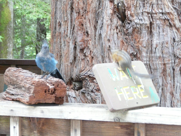 Steller's Jay and chipmunk waiting for the Sky Trail at Trees of Mystery, Northern California