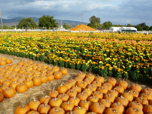 Pumpkins, Morgan Hill CA