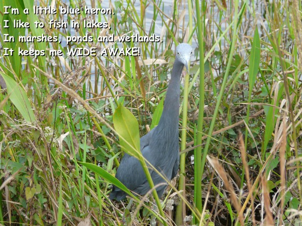 Little blue heron, Everglades, FL