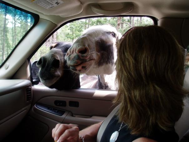 panhandling burros, Needles Highway, SD