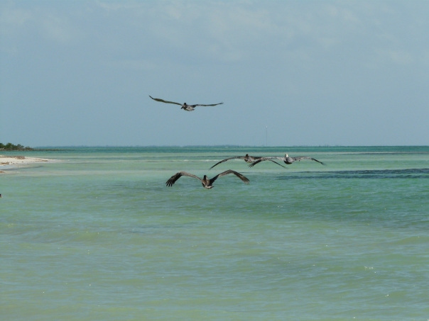 Four pelicans, Florida