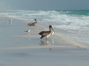 Pelicans on Henderson Beach, Destin, Florida