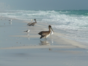 Pelicans on Henderson Beach, Destin, Florida