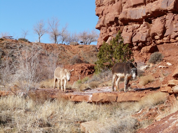 Wild burros, Monument Valley, Utah
