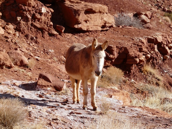 Wild burro, Monument Valley, Utah