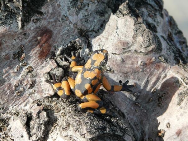 orange and black frog on a mangrove tree, Florida Keys
