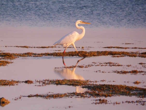 Egret, sunset, Florida Keys