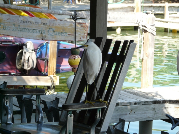 Snowy egret on barber chair, Florida Keys