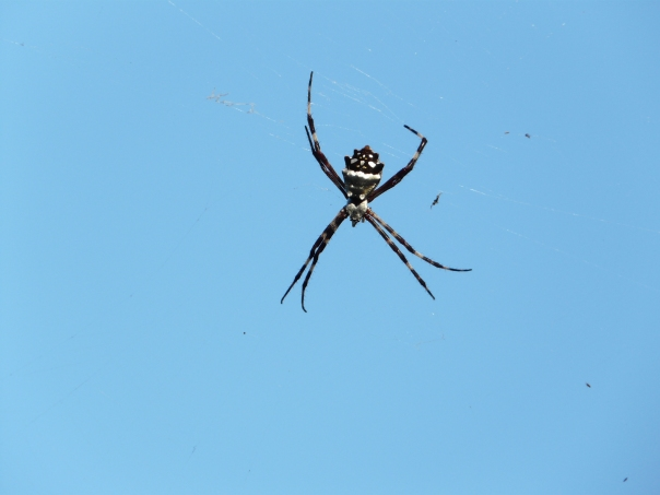 Flying spider, Florida Keys