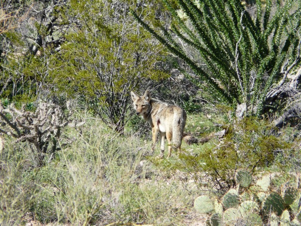 Coyote, Saguaro National Park