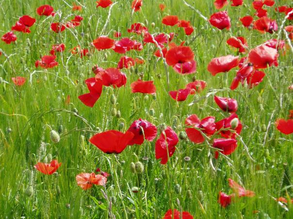 Poppies in Languedoc Roussillon France