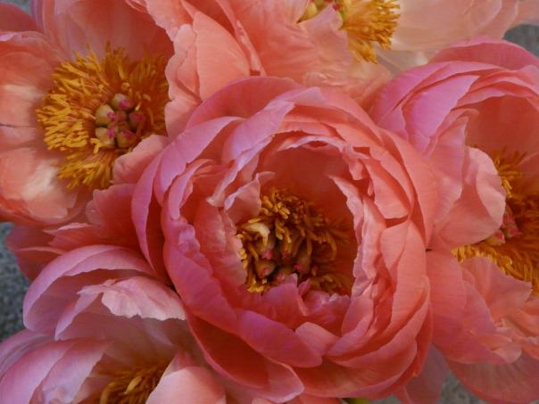 peonies, flowers