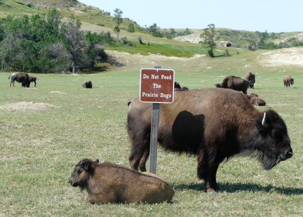 Bison at Teddy Roosevelt National Park