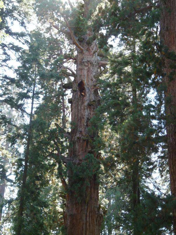 sequoia 111