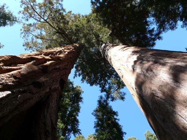 Giant sequoias, Sequoia National Park