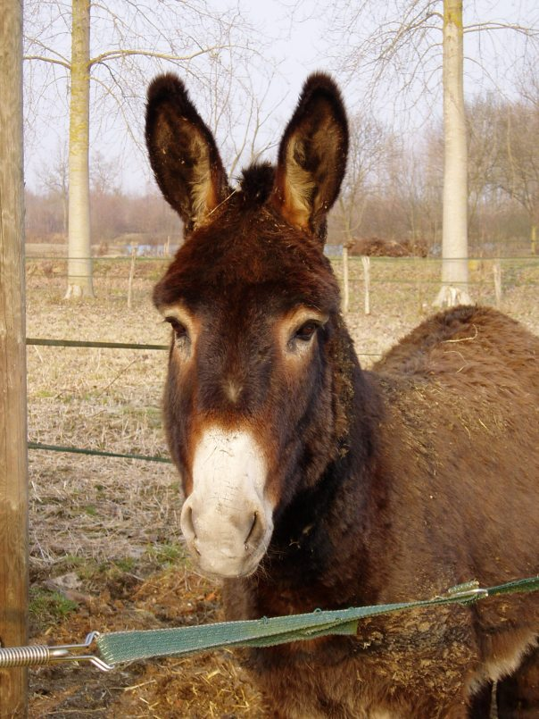 Donkey in Romilly, France