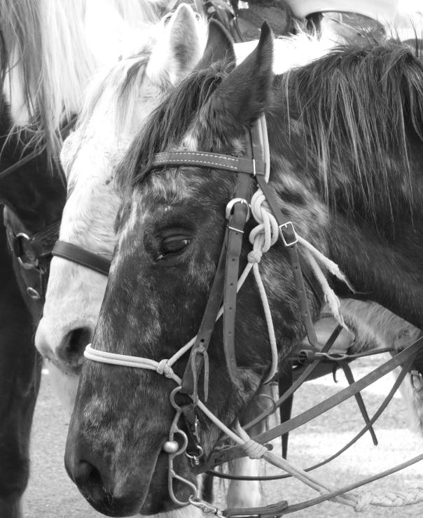 pony express ponies