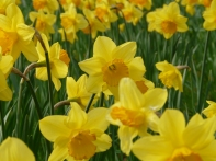 English daffodils