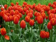tulipmania 057