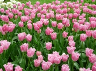 tulipmania 061