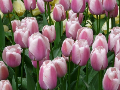 tulipmania 082