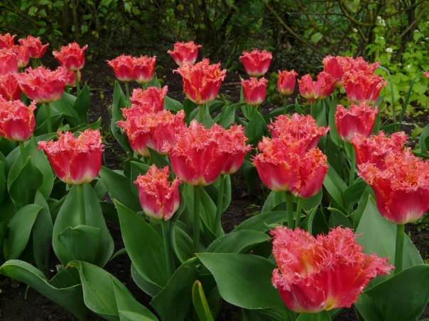 Tulipmania, Springfield Festival Gardens, Spalding, Lincolnshire
