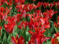 tulipmania 161