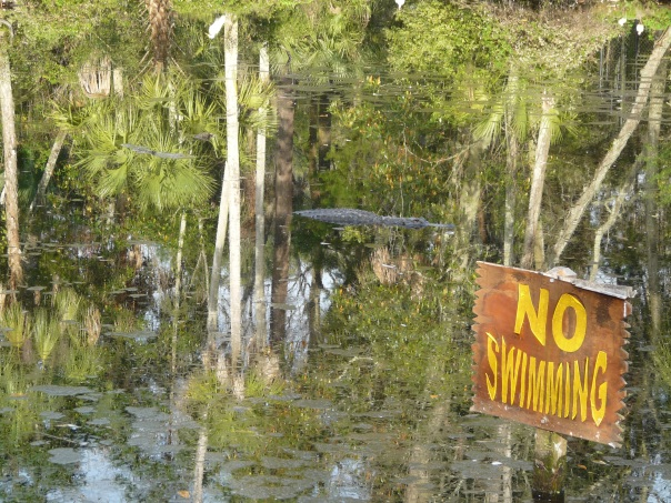 Alligators, Florida USA