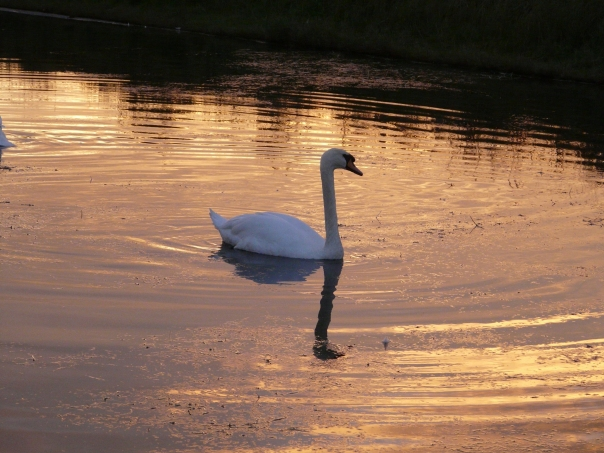 swan lake in southwold